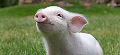 Продукция для свинокомплексов